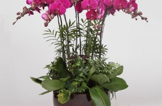 Home Plants - Red, White Color Orchids